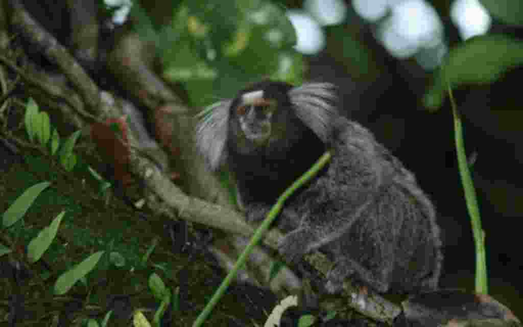 Mico Acariensis.