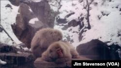 Snow Monkeys rest in Nagano, Japan