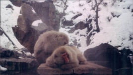 Snow Monkeys rest in Nagano, Japan