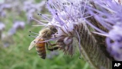 FILE - A bee is seen during pollination.