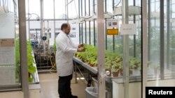 Viktor Klimjuk iz kompanije Ajkon Dežentiks ispituje biljke duvana u laboratoriji u Haleu, u Nemačkoj. Ta kompanija razvija tehnologiju za masovnu proizvodnju vakcine za ebolu uz pomoć biljaka duvana.