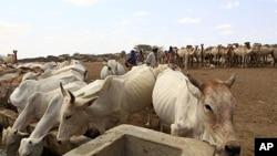 การใช้ยาปฏิชีวนะในฟาร์หมปศุสัตว์เป็นสาเหตุให้เกิดวิกฤติเชื้อโรคดื้อยา