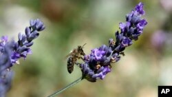 A bee gathers nectar of lavender from a field in Sederon, near Carpentras, southern France, Aug. 27, 2014.