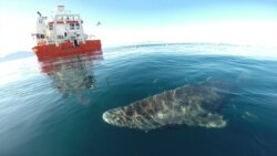 ႏွစ္ေပါင္း ၄၀၀ နီးပါး အသက္ရွည္တဲ့ ဂရင္လန္ က ငါးမန္း