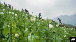 Cánh đồng trồng cây thuốc phiện ở gần làng Lone Zar, miền bắc bang Kachin, Myanmar.