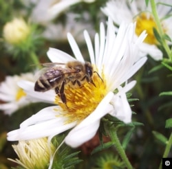 Exposure to pollutants affects the ability of honeybees to recognize a flower's odor and forage, which could compromise the health of the hive. (Tracey Newman)