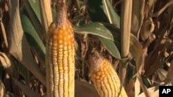 Le maïs est utilisé dans la production de 10% d'éthanol aux Etats-Unis