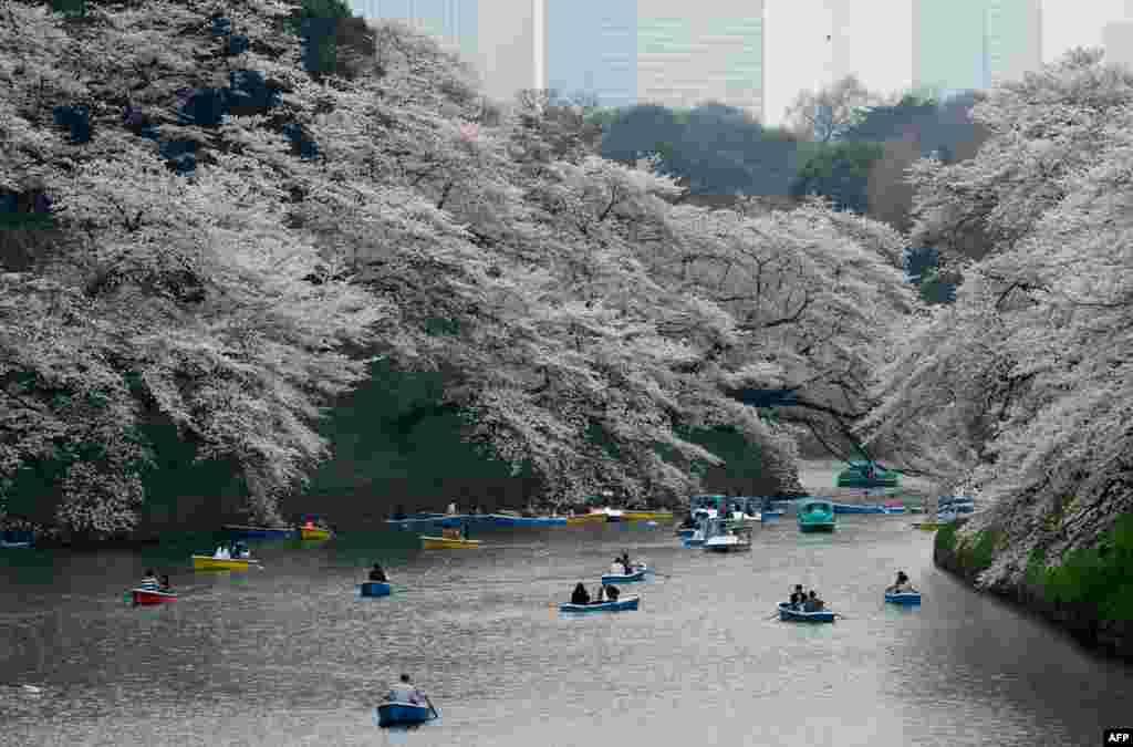 2018年3月27日,游客在日本首都东京的碧波上划船,两岸樱花繁盛。日本樱花季节到来,民众和外国游客涌入公园赏樱。