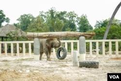 Kaavan walks at Kulen Prom Tep Wildlife Sanctuary in Oddar Meanchey province, Cambodia, Dec. 1, 2020. (Khan Sokummono/VOA Khmer)