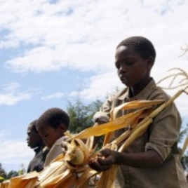 Young Kenyan boys harvest maize in Bomet, Kenya (File Photo).