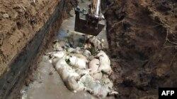 Bangkai-bangkai bagi yang terjangkit virus kolera babi dikubur di Desa Danau Siombak, di Medan, Sumatra Utara, 11 November 2019. (Foto: AFP)