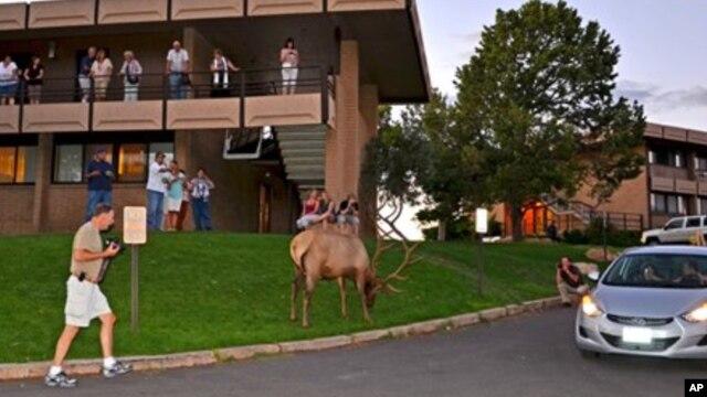 Seekor elk sedang merumput di depan Penginapan Thunderbird di Grand Canyon, Arizona. Pengunjung Grand Canyon kini sering melihat elk berkeliaran di tempat-tempat rekreasi, membuat lalu lintas macet, atau menyerang orang (foto: dok).