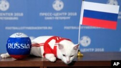 Achilles el gato, uno de los cazadores de ratones del Museo Estatal Hermitage descansa sobre una mesa después de intentar predecir el resultado del partido inaugural del Mundial entre Rusia y Arabia Saudita.
