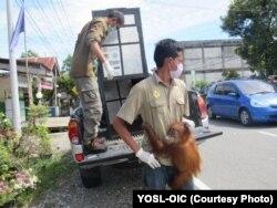 Petugas tampak tengah membawa pergi orangutan Sumatra yang berhasil diselamatkan dari tangan warga di Kabupaten Aceh Barat Daya (courtesy: YOSL-OIC)