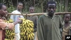 Pequenos agricultores etíopes durante a colheita da banana