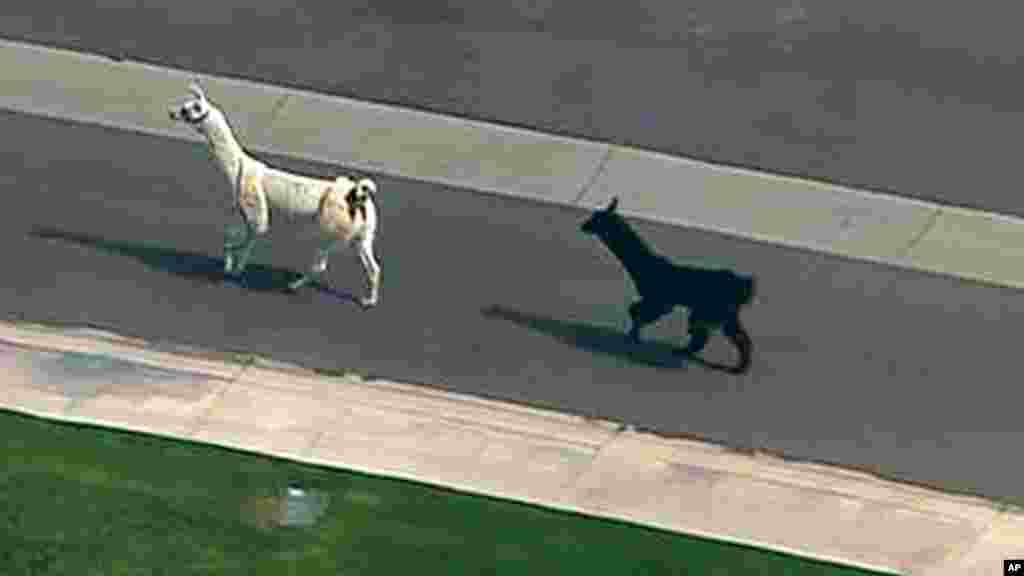 این دو حیوان پس از وارد شدن در یک محلۀ شهری در ایالت اریزونای ایالات متحده امریکا، نظم ترافیک را شدیداً به هم زد