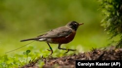An antenna from an Argos satellite tag extends past the tail feathers of an American robin as it darts around a front lawn in Cheverly, Md., Sunday, May 9, 2021. (AP Photo/Carolyn Kaster)