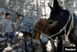 """A worker unloads bricks from mules at the Jiankou section of the Great Wall, in Huairou District, north of Beijing, China, June 7, 2017. """"The path is too steep and the mountains are too high, so bricks can only be transported by mules,"""" said local mule owner."""