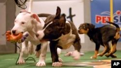 Puppies play during the Animal Planet's Puppy Bowl in Silver Spring, Maryland, Oct. 16, 2007.