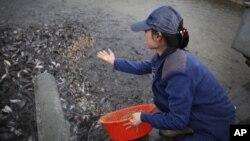 지난 4월 북한 평양메기공장의 양식장에서 직원이 메기 떼에 먹이를 주고 있다.