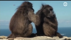 Как обмануть бабуина