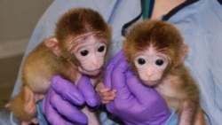 Two of the three chimeric monkeys at the Oregon National Primate Research Center