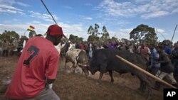 Dân Kenya tổ chức cuộc đấu bò giữa hai con bò tên Obama và Romney