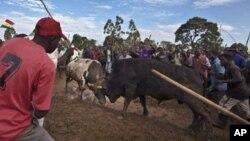 Warga Kenya menonton acara adu banteng di Khayega di Kenya barat, Sabtu (3/11). Adu banteng hitam dan putih yang dinamai Obama vs Romney dimenangkan oleh Obama.
