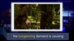 Học từ vựng qua bản tin ngắn: Burgeoning (VOA)