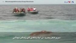سری لنکا: سمندر میں بہتے ہاتھی کو بچا لیا گیا