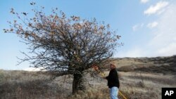 In this Oct. 28, 2019, photo, amateur botanist David Benscoter, of The Lost Apple Project, stands near a tree in the Steptoe Butte area near Colfax, Washington.
