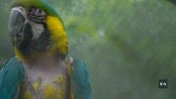 В буддистському монастирі біля Вашингтона рятують кинутих на призволяще папуг. Відео