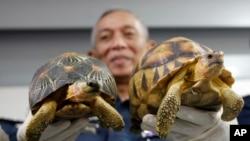 Wakil Direktur Bea Cukai Malaysia, Abdul Wahid Sulong menunjukkan hasil sitaan kura-kura jenis Ploughshare (kanan) dan Indian Star (kiri), setelah menggelar konferensi pers di kantor Bea Cukai di Sepang, Malaysia, 15 Mei 2017.