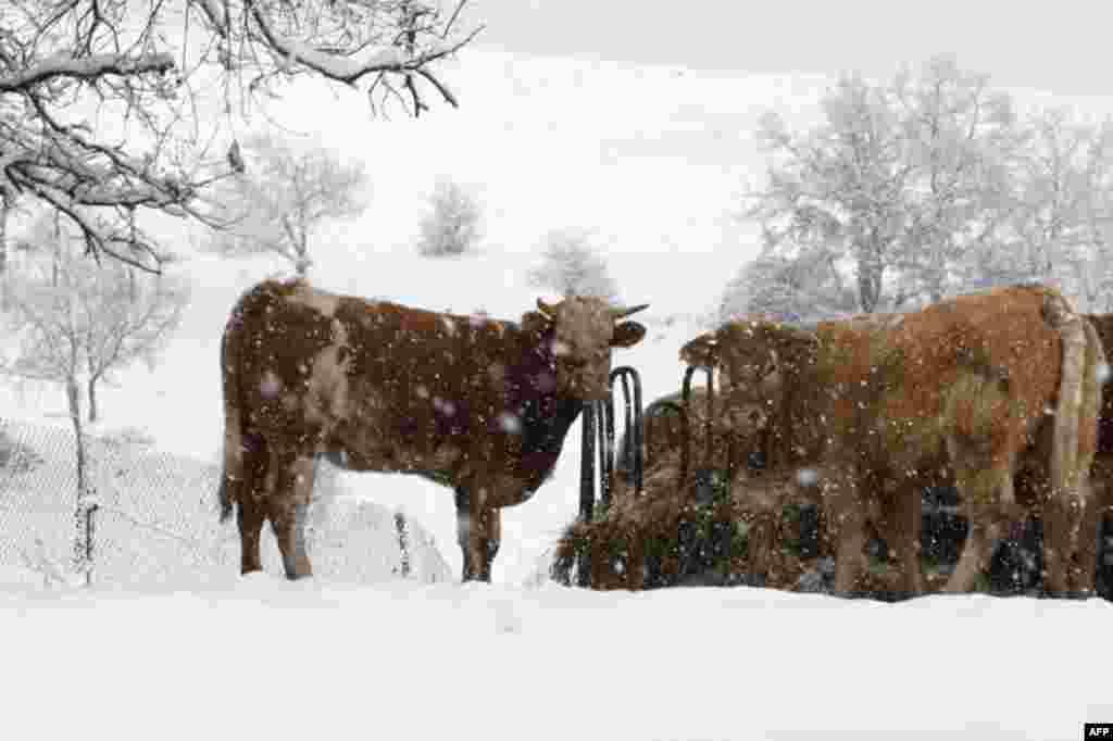 Trâu bò đứng nhìn trong bão tuyết gần thủ đô Barcelona, Tây Ban Nha, 2 tháng 2, 2012. (Reuters)