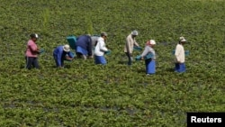 FILE - Workers pick strawberries at a farm near Stellenbosch, South Africa, Nov. 13, 2015.