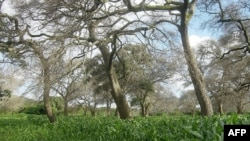 UN Says Food Production Must Rise; How 'Fertilizer Trees' Could Help
