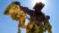 <div>برداشت انگور از تاکستان های خراسان شمالی<br /> عکس: پیمان حمیدی پور</div>