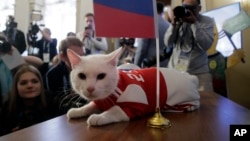 Achilles the cat, one of the State Hermitage Museum mice hunters, lies on a table after attempting to predict the result of the opening match of the 2018 FIFA World Cup between Russia and Saudi Arabia in St.Petersburg, Russia, Wednesday, June 13, 2018. (A