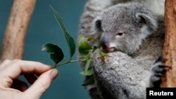 FILE - A zookeeper offers eucalyptus leaves to a Koala joey named 'Boonda' in his enclosure at Wildlife World in Sydney, Australia, June 28, 2011.