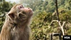 Pengembangan vaksin yang melindungi monyet dari simian immunodeficiency virus (SIV), diharapkan bisa menjurus pada pengobatan AIDS yang lebih baik, dan mempercepat pembuatan vaksin HIV yang ampuh (foto: ilustrasi).