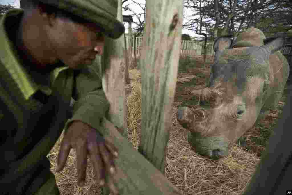 Le gardien Zacharie Mutai apporte du foin à manger pour rhinocéros blanc du nord, femelle, Fatu, dans son enclos à l'Ol Pejeta Conservancy au Kenya.