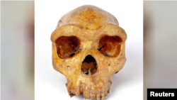 The Broken Hill skull, Homo heidelbergensis, a fossil of an extinct human species found in Zambia in 1921, is seen in this undated image provided to Reuters on March 31, 2020. Kevin Webb/NHM Image Resources/The Trustees of the Natural History Museum in Lo