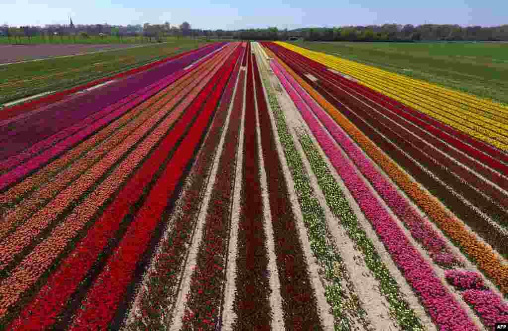 ទិដ្ឋភាពពីលើអាកាសនៃវាលផ្កាទូលីប (tulip ) នៅពេលថ្ងៃរះ នៅក្រុងKorschenbroich ភាគខាងលិចនៃប្រទេសអាល្លឺម៉ង់។