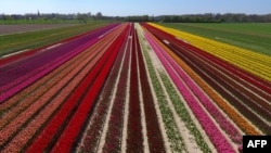 This picture shows an aerial view of a tulip field as the sun shines in Korschenbroich, western Germany, on April 18, 2019. (Photo by INA FASSBENDER / AFP)