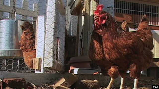 Las gallinas Rhode Island Red en Washington.