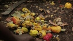 Cashew Production Booms in Ivory Coast