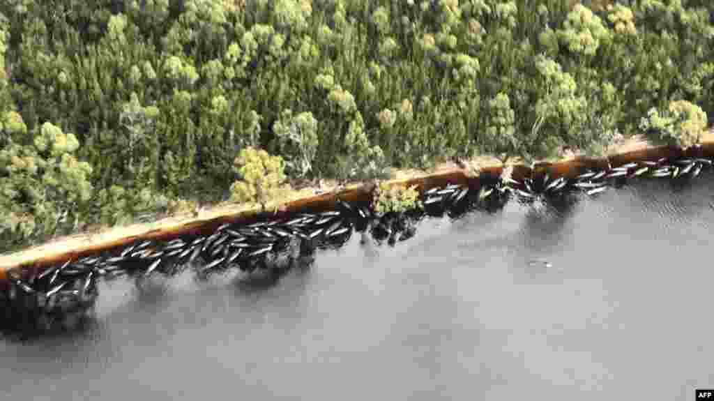 A handout photo taken, Sept. 23, 2020, from The Mercury shows dead whales floating on the shoreline in Macquarie Harbour on Tasmania's west coast, Australia.