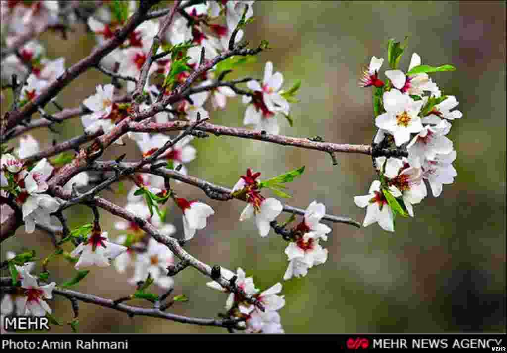 شکوفه های بهاری- قزوین