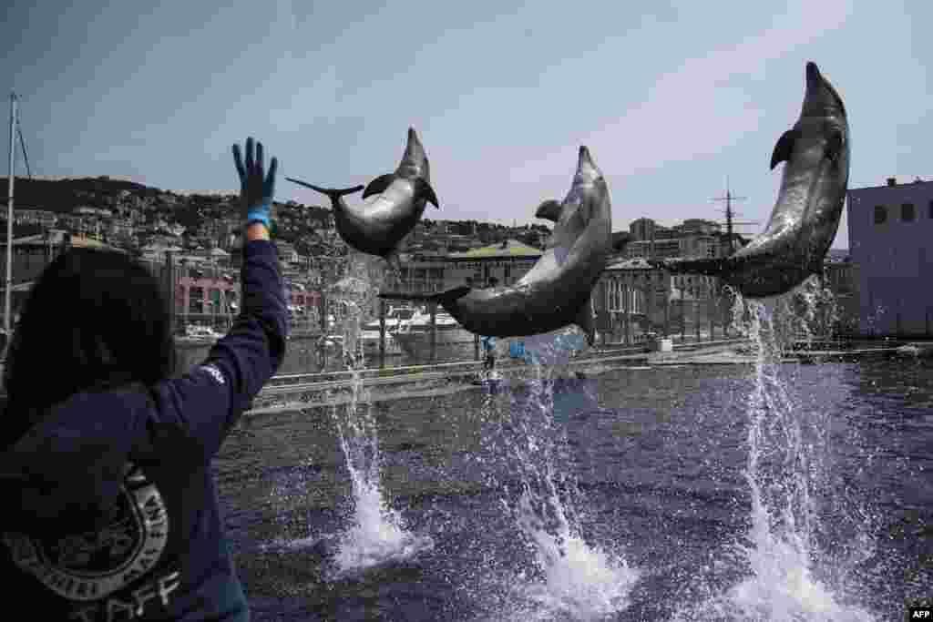 ត្រីដុលហ្វីនសម្ដែងក្នុងពេលត្រៀមបើកឡើងវិញសួនចិញ្ចឹមត្រី Aquarium of Genoa ទីក្រុងLiguria។ សួនចិញ្ចឹមត្រីនេះនឹងបើកនៅថ្ងៃទី ២៨ ឧសភា បន្ទាប់ពីត្រូវបានបិទអស់រយៈពេល២ខែ ដោយសារតែការរាលដាលសាកលនៃជំងឺកូវីដ១៩។