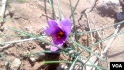 گل زعفران در زمین بامیان